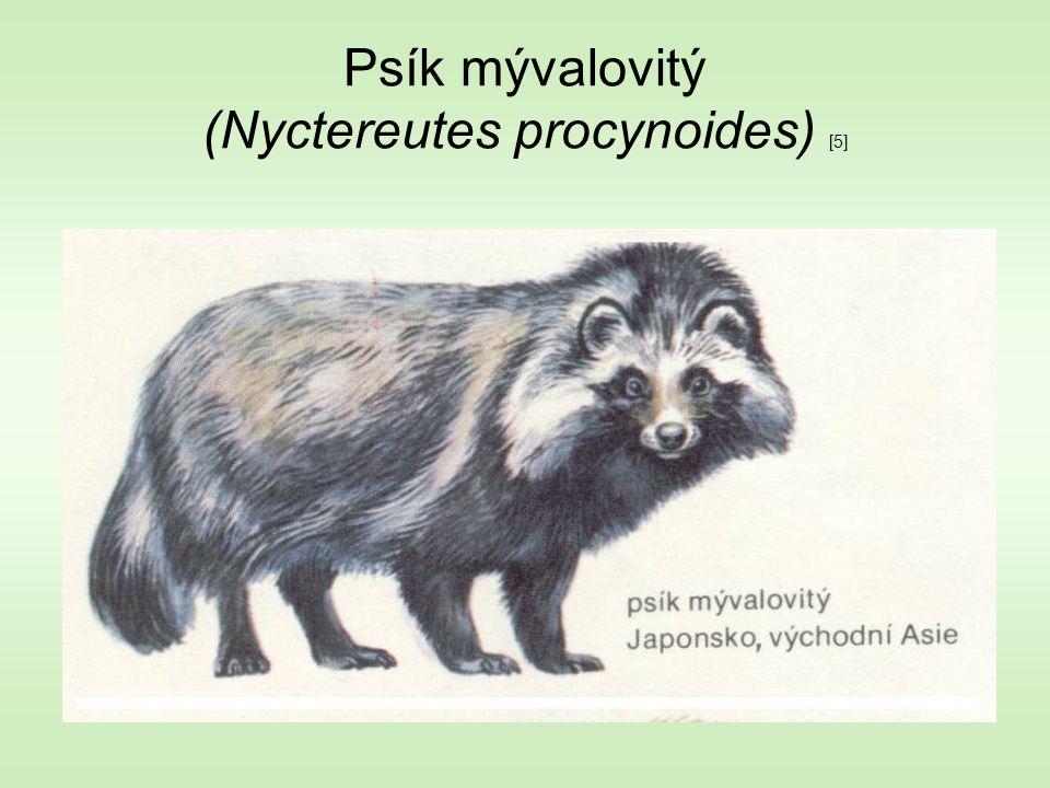 Psík mývalovitý (Nyctereutes procynoides) [5]